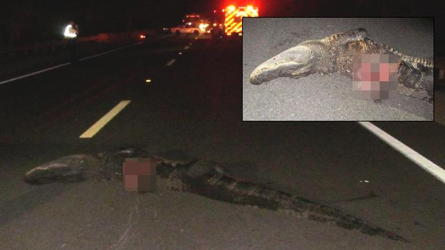 Motorcyclist Hits 10-Foot Gator
